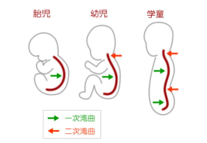 背骨の発達過程